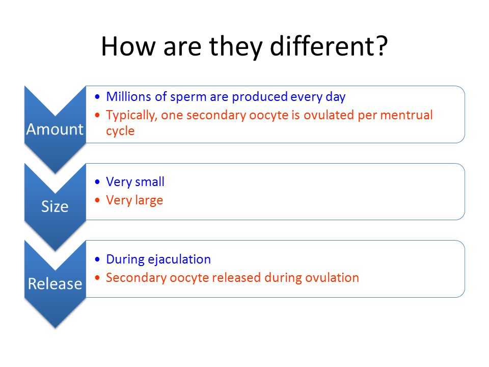 How are they different? Amount Millions of sperm are produced every day Typically, one secondary oocyte is ovulated per mentrual cycle Size Very small