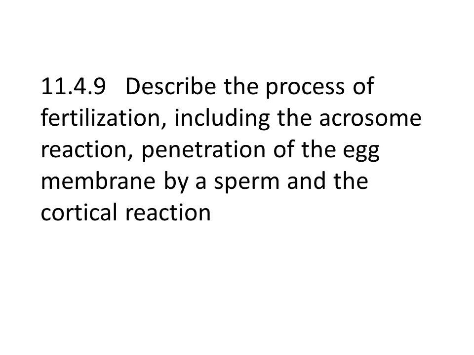 Fertilization Not as simple as sperm meets egg How does the sperm get through the zona pellucida.