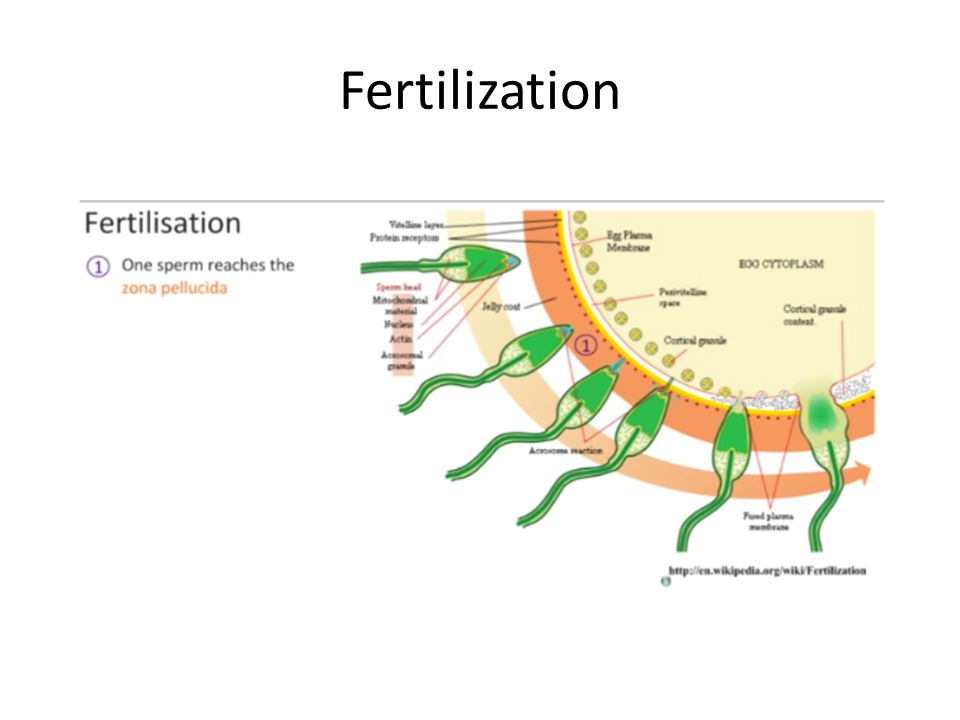 11.4. 11 Outline early embryo development up to the implantation of the blastocyst.