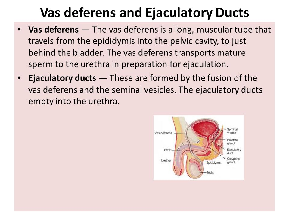 Vas deferens and Ejaculatory Ducts Vas deferens — The vas deferens is a long, muscular tube that travels from the epididymis into the pelvic cavity, t