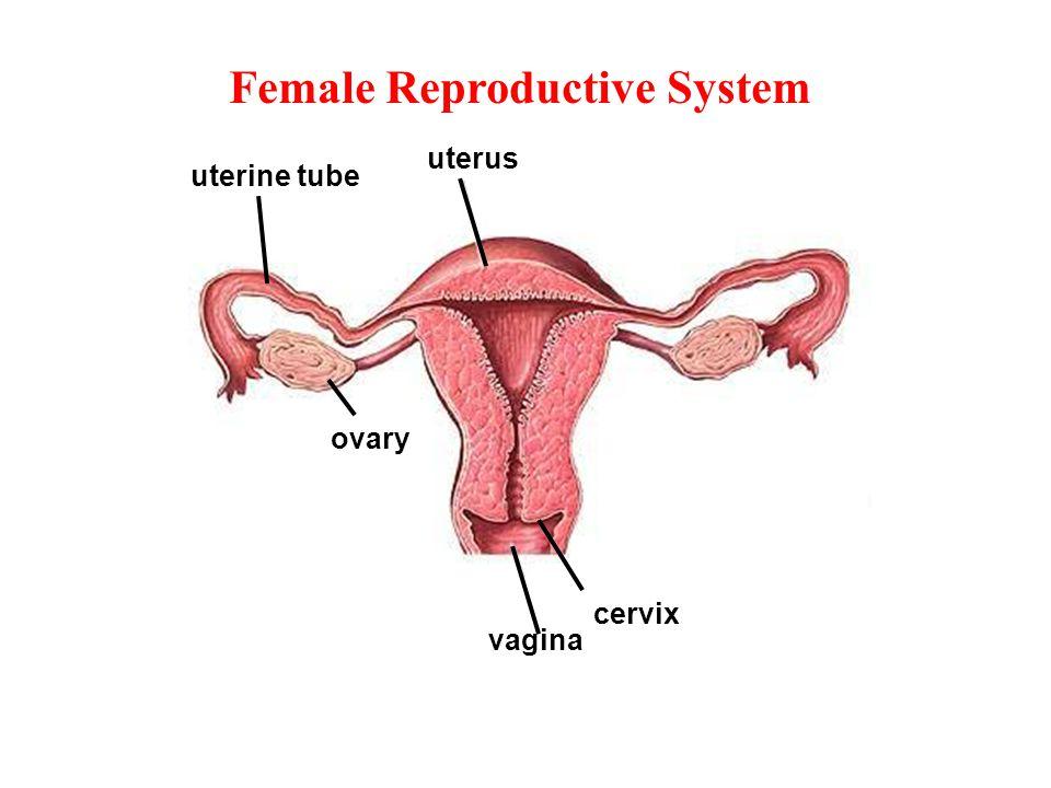 Internal Female Organs cervix vagina uterine tube ovary uterus Female Reproductive System