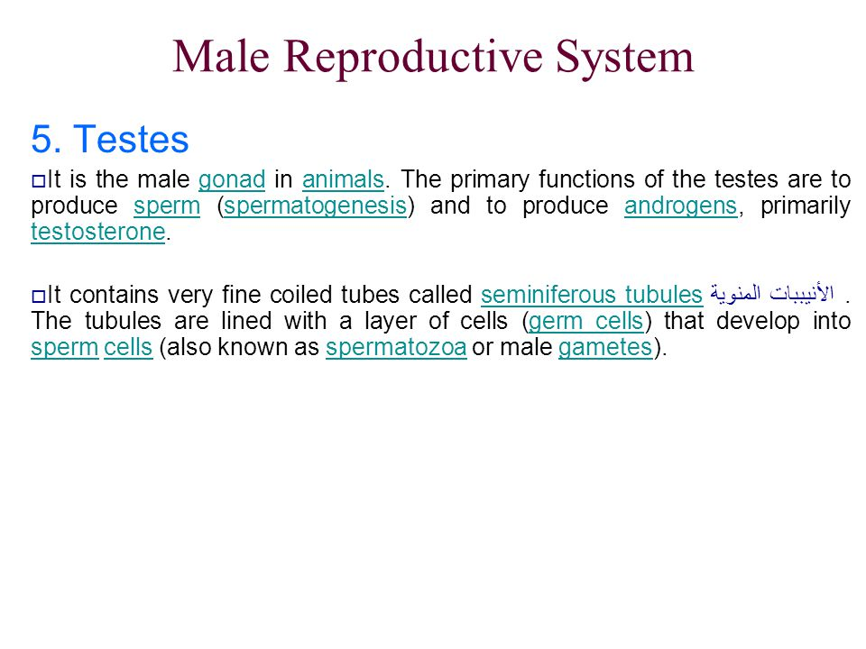 Male Reproductive System 5. Testes  It is the male gonad in animals. The primary functions of the testes are to produce sperm (spermatogenesis) and t