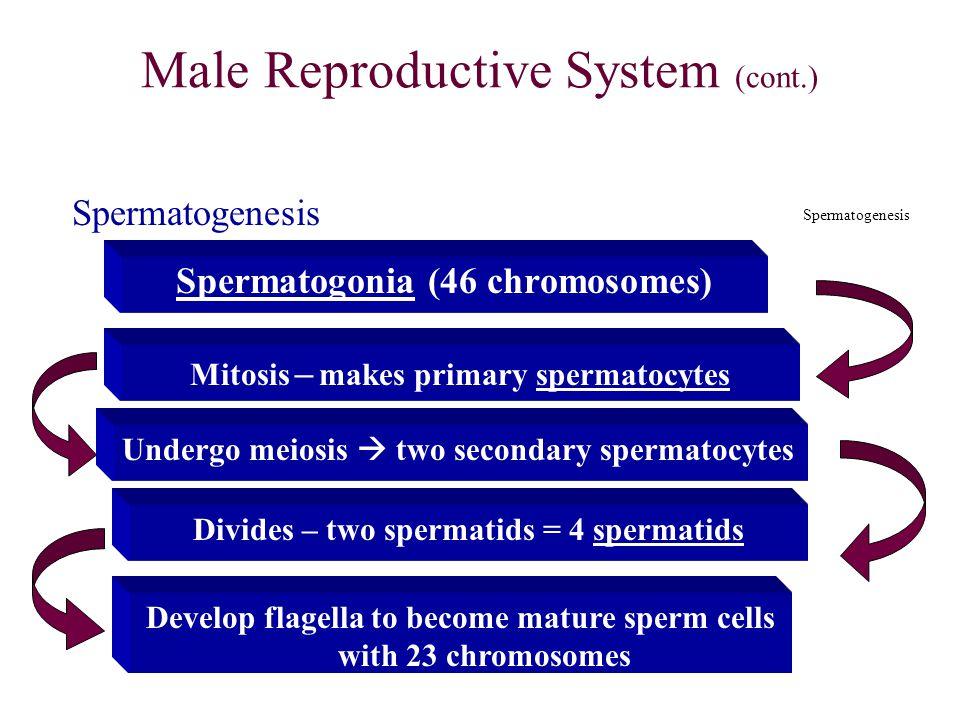 Male Reproductive System (cont.) Spermatogonia (46 chromosomes) Mitosis – makes primary spermatocytes Undergo meiosis  two secondary spermatocytes Di