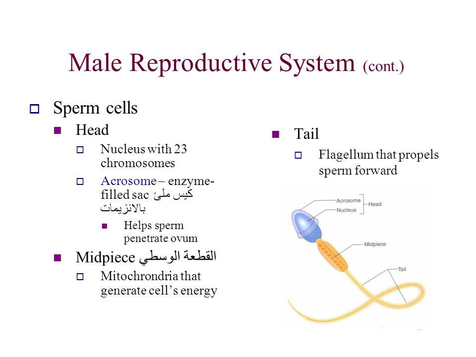 Male Reproductive System (cont.)  Sperm cells Head  Nucleus with 23 chromosomes  Acrosome – enzyme- filled sac كيس ملئ بالانزيمات Helps sperm penet