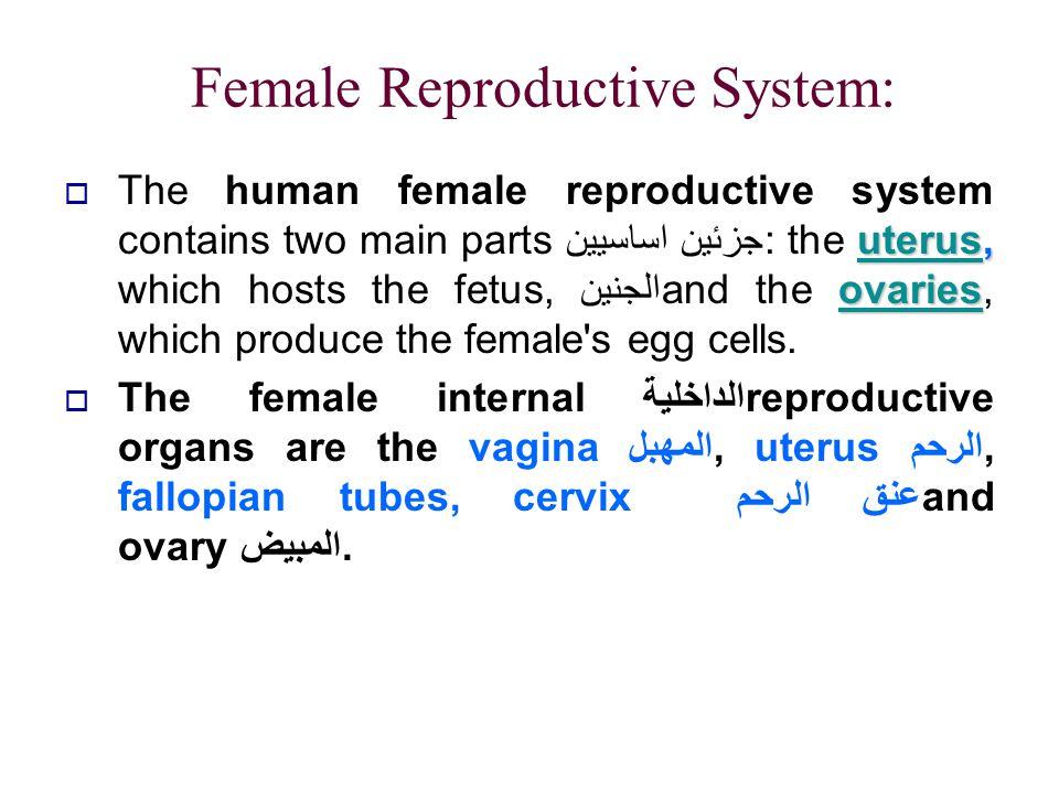 Female Reproductive System: uterusuterus, ovaries  The human female reproductive system contains two main partsجزئين اساسيين : the uterus, which host