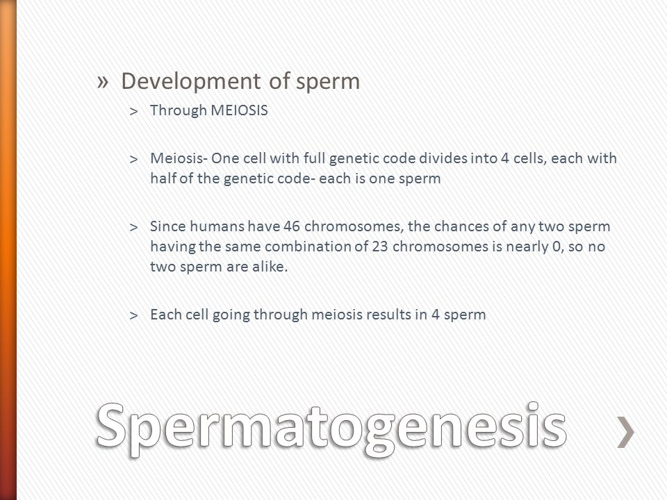 » Testes- structures in scrotum where development of sperm takes place.