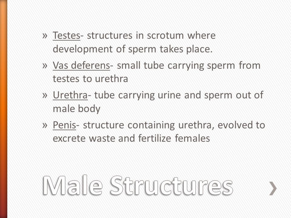 » Testes- structures in scrotum where development of sperm takes place. » Vas deferens- small tube carrying sperm from testes to urethra » Urethra- tu