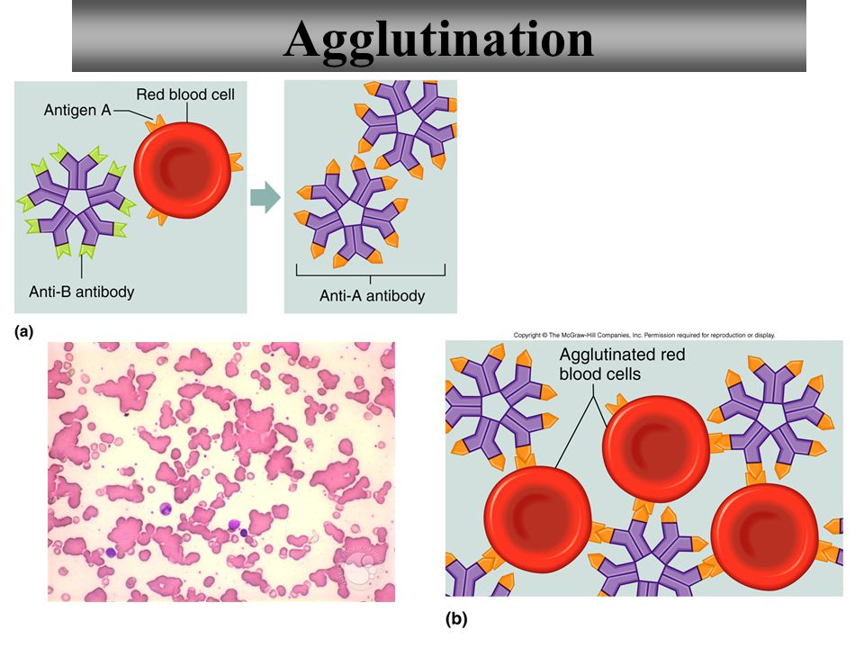 7 Antigens: RBC surface molecules Antibodies: proteins carried in the blood's plasma Called anti because they are against specific antigens Avoiding the mixture of certain kinds of antigens and antibodies prevents agglutination