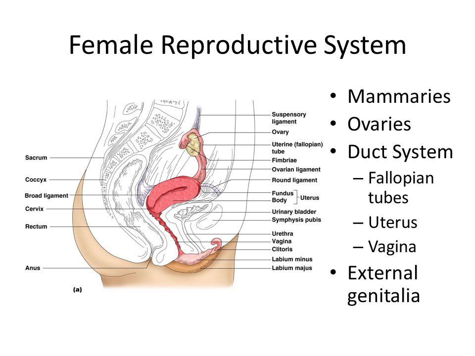 Female Reproductive System Mammaries Ovaries Duct System – Fallopian tubes – Uterus – Vagina External genitalia