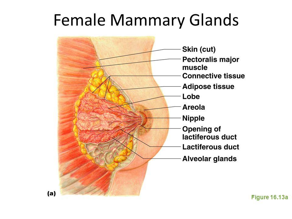 Female Mammary Glands Figure 16.13a