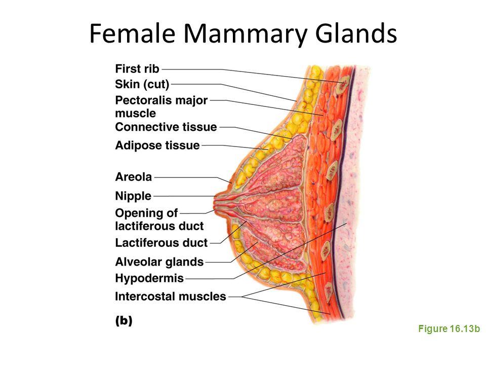 Female Mammary Glands Figure 16.13b