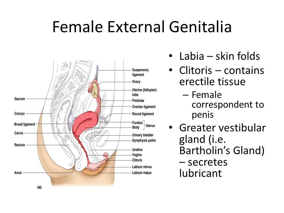 Female External Genitalia Labia – skin folds Clitoris – contains erectile tissue – Female correspondent to penis Greater vestibular gland (i.e. Bartho
