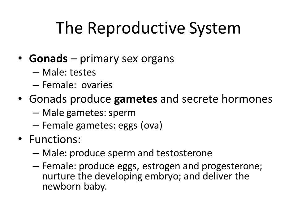 Male Reproductive System External genitalia: – Penis – Scrotum (house testes) Accessory organs: – Seminal vesicles – Prostate – Bulbourethral gland Duct system: – Epididymis – Vas deferens – Urethra