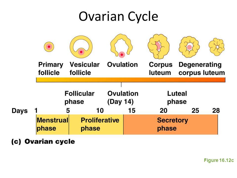 Ovarian Cycle Figure 16.12c