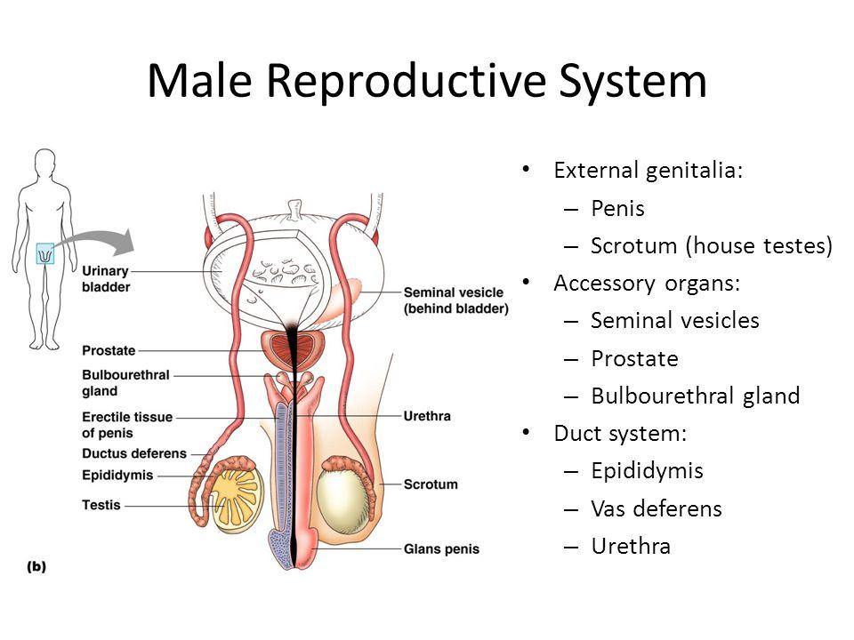 Male Reproductive System External genitalia: – Penis – Scrotum (house testes) Accessory organs: – Seminal vesicles – Prostate – Bulbourethral gland Du