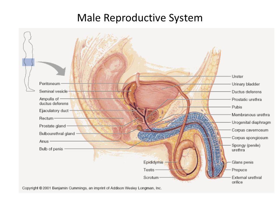 Female External Genitalia Labia – skin folds Clitoris – contains erectile tissue – Female correspondent to penis Greater vestibular gland (i.e.