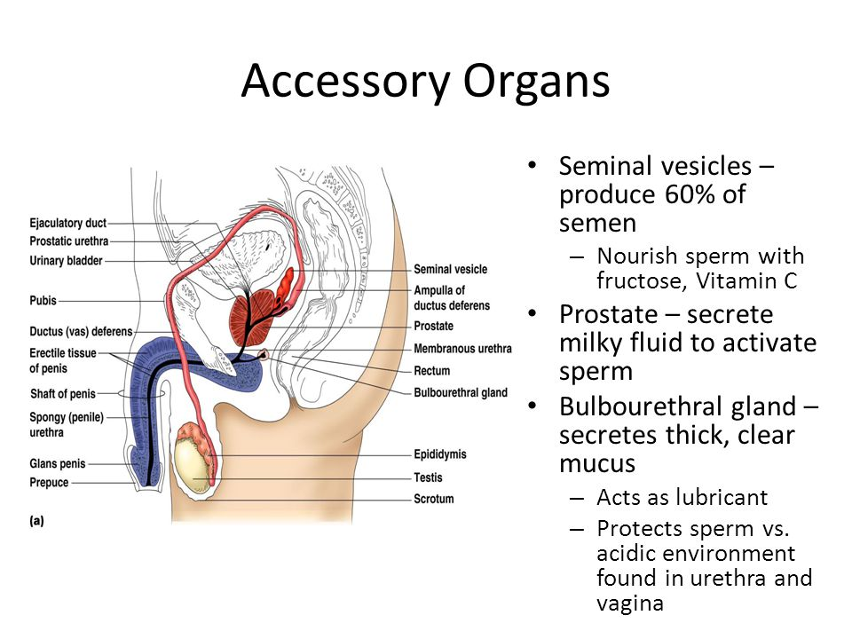 Accessory Organs Seminal vesicles – produce 60% of semen – Nourish sperm with fructose, Vitamin C Prostate – secrete milky fluid to activate sperm Bul