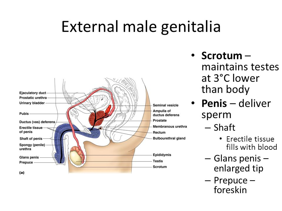 External male genitalia Scrotum – maintains testes at 3°C lower than body Penis – deliver sperm – Shaft Erectile tissue fills with blood – Glans penis