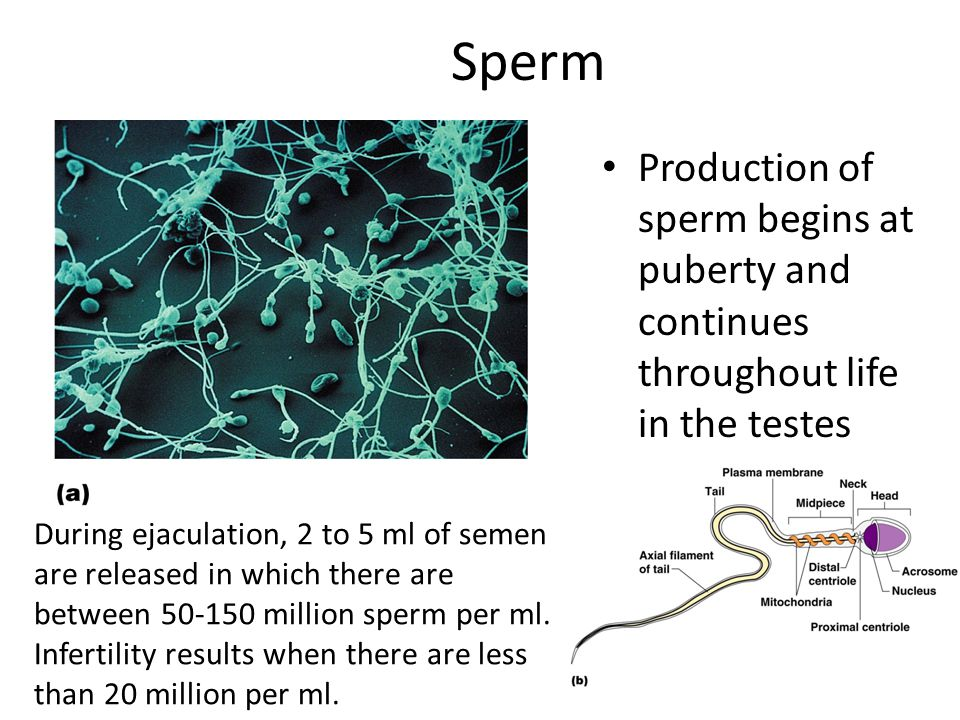 Fertilization Sperm must travel to the egg and penetrate to combine the DNA from both parents -- this creates the first cell after fertilization: the Zygote 23 chromosomes from each parent; zygote has a total of 46 chromosomes