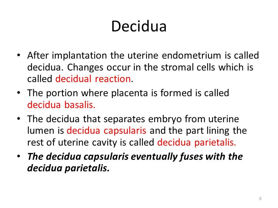6 Decidua After implantation the uterine endometrium is called decidua. Changes occur in the stromal cells which is called decidual reaction. The port