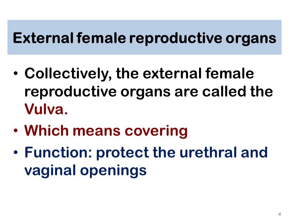 External Female Structures (Vulva) 1.Mons Pubis.2.Labia Majora & Minora.