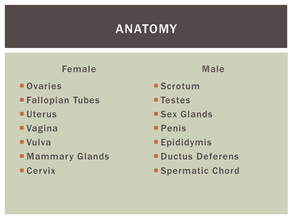 Female  Ovaries  Fallopian Tubes  Uterus  Vagina  Vulva  Mammary Glands  Cervix Male  Scrotum  Testes  Sex Glands  Penis  Epididymis  Ductus Deferens  Spermatic Chord ANATOMY