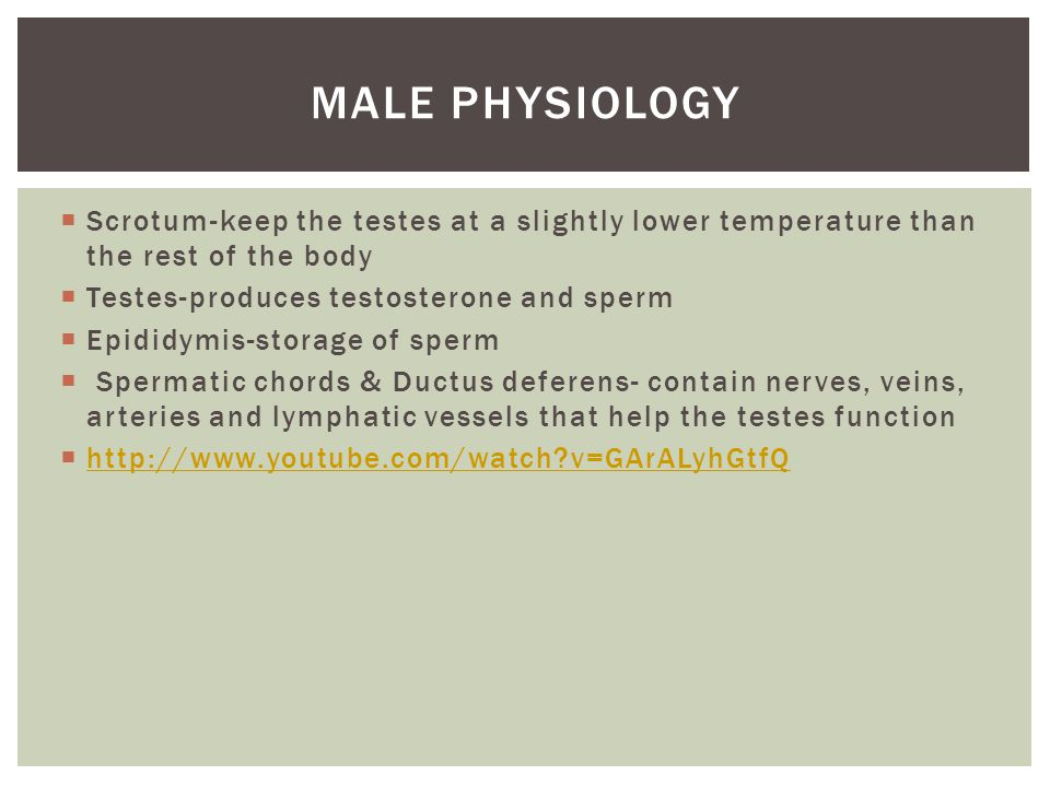  Scrotum-keep the testes at a slightly lower temperature than the rest of the body  Testes-produces testosterone and sperm  Epididymis-storage of sperm  Spermatic chords & Ductus deferens- contain nerves, veins, arteries and lymphatic vessels that help the testes function  http://www.youtube.com/watch v=GArALyhGtfQ http://www.youtube.com/watch v=GArALyhGtfQ MALE PHYSIOLOGY