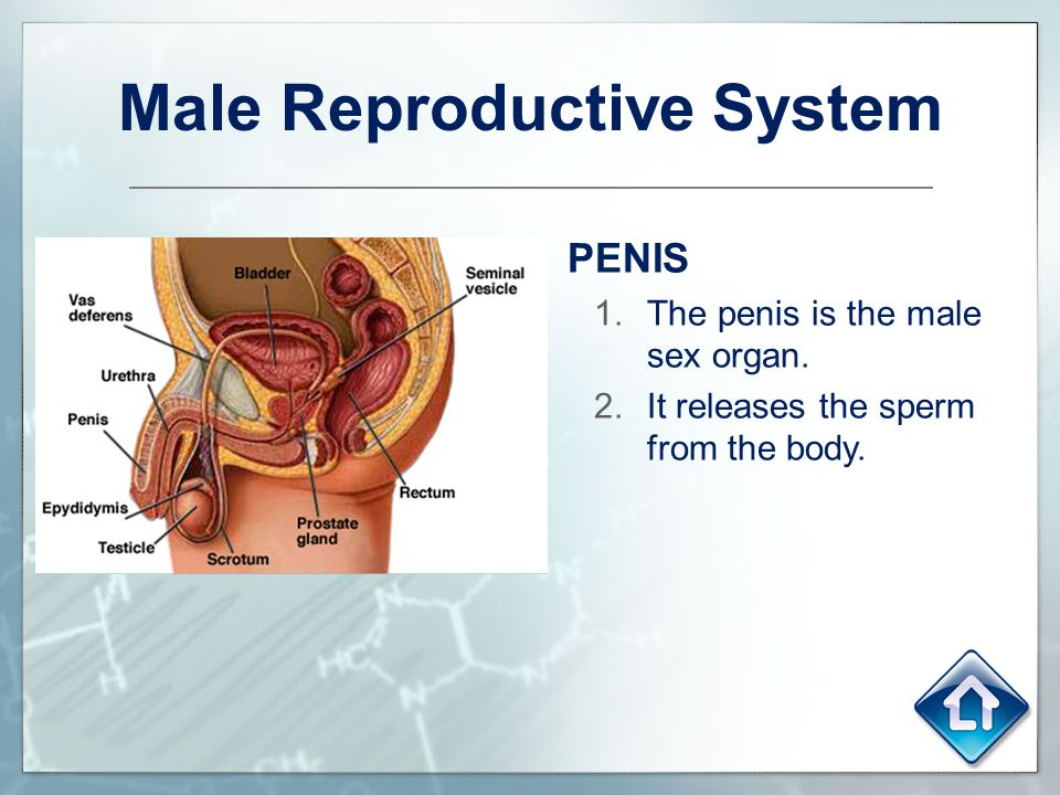 Male Reproductive System PENIS 1.The penis is the male sex organ. 2.It releases the sperm from the body.