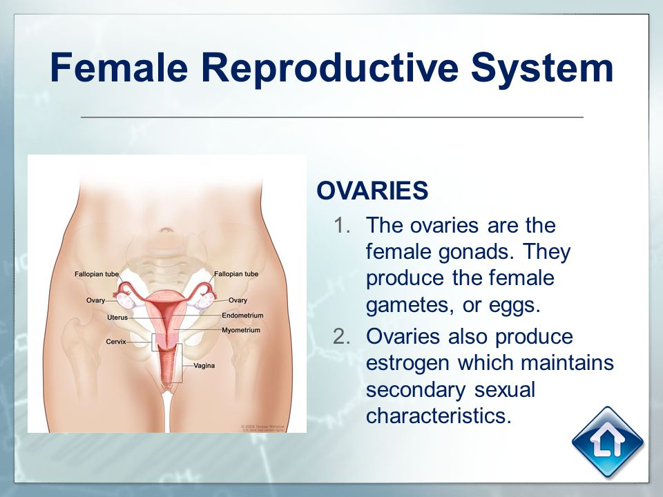 Female Reproductive System OVARIES 1.The ovaries are the female gonads. They produce the female gametes, or eggs. 2.Ovaries also produce estrogen whic