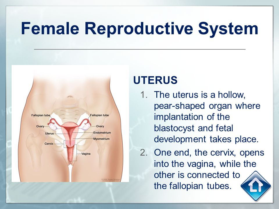 Female Reproductive System UTERUS 1.The uterus is a hollow, pear-shaped organ where implantation of the blastocyst and fetal development takes place.