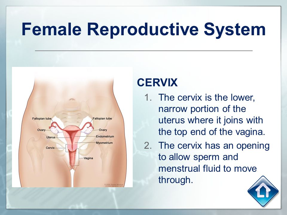 Female Reproductive System CERVIX 1.The cervix is the lower, narrow portion of the uterus where it joins with the top end of the vagina. 2.The cervix