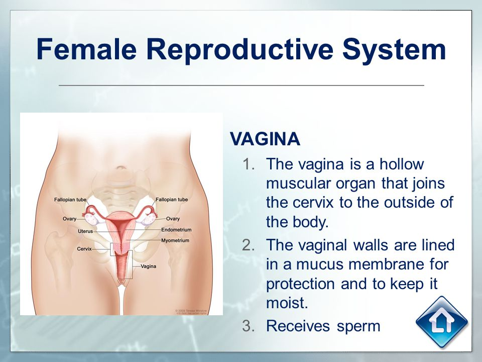 Female Reproductive System VAGINA 1.The vagina is a hollow muscular organ that joins the cervix to the outside of the body. 2.The vaginal walls are li