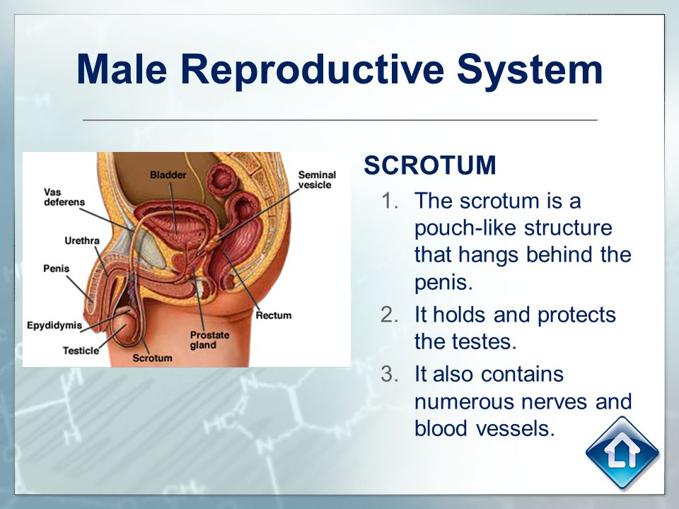 Male Reproductive System SCROTUM 1.The scrotum is a pouch-like structure that hangs behind the penis. 2.It holds and protects the testes. 3.It also co