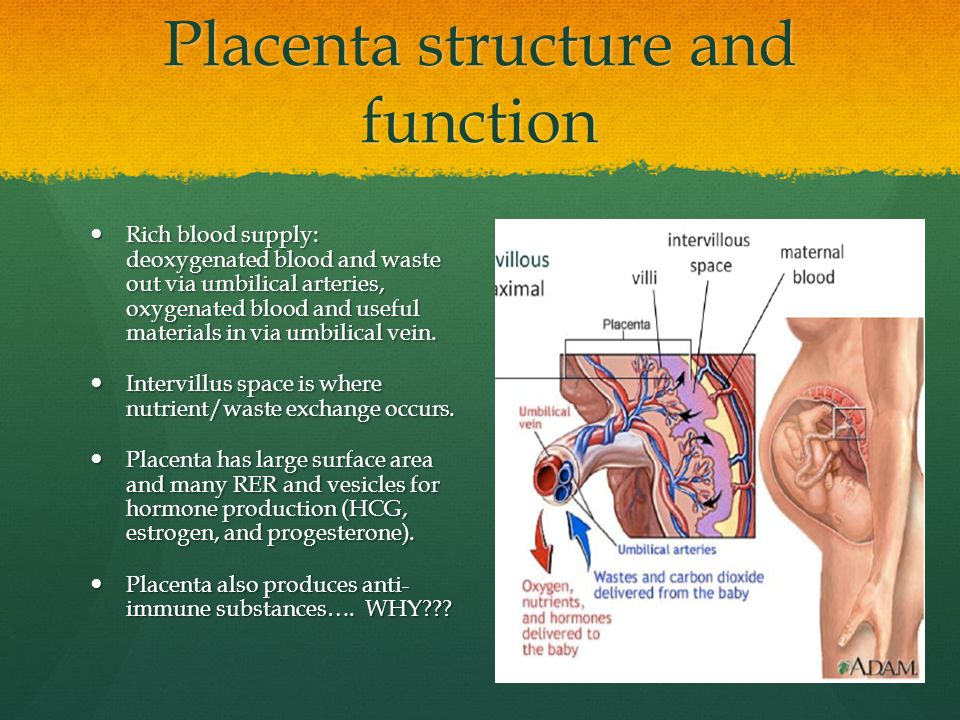 Placenta structure and function Rich blood supply: deoxygenated blood and waste out via umbilical arteries, oxygenated blood and useful materials in v