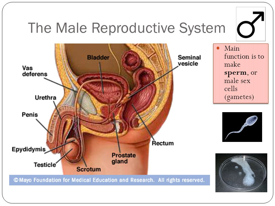 The Male Reproductive System Main function is to make sperm, or male sex cells (gametes)