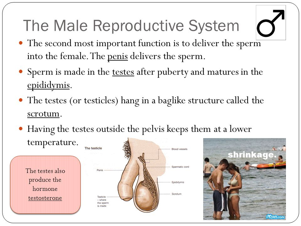 The Male Reproductive System The second most important function is to deliver the sperm into the female. The penis delivers the sperm. Sperm is made i