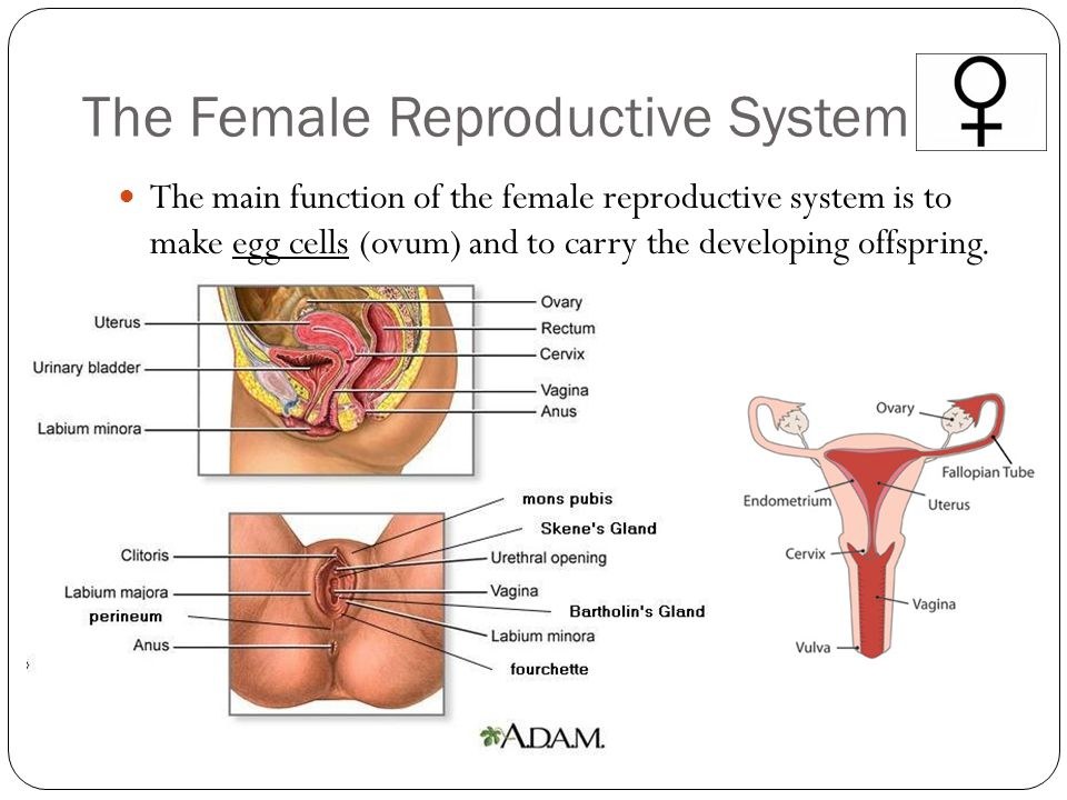 The Female Reproductive System The main function of the female reproductive system is to make egg cells (ovum) and to carry the developing offspring.