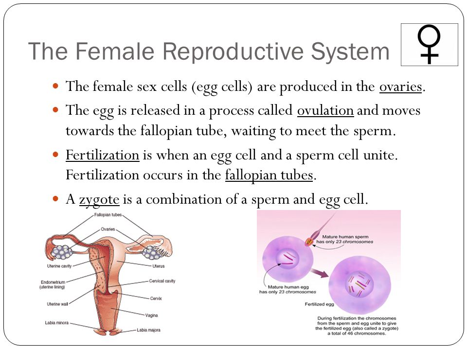 The Female Reproductive System The female sex cells (egg cells) are produced in the ovaries. The egg is released in a process called ovulation and mov