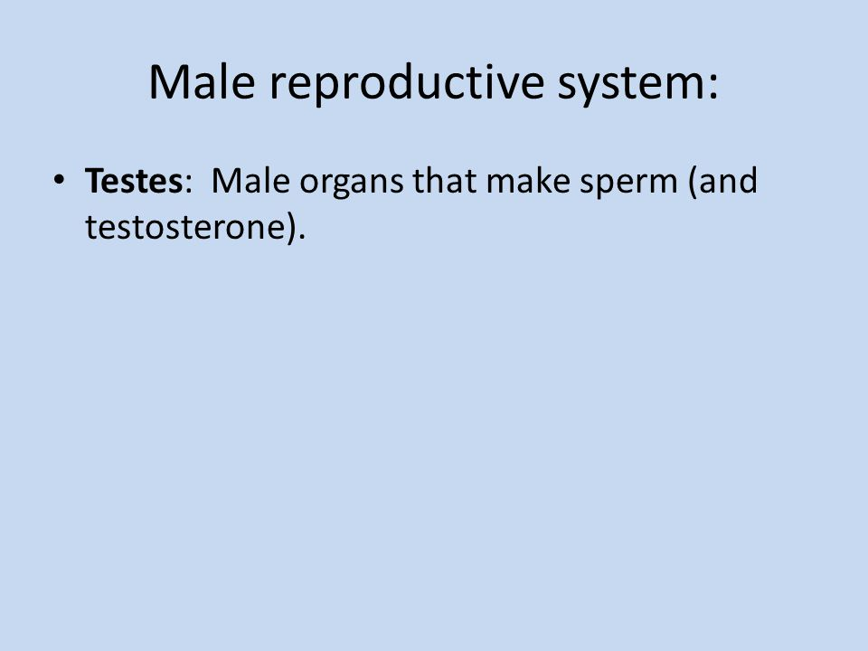 Male reproductive system: Testes: Male organs that make sperm (and testosterone).