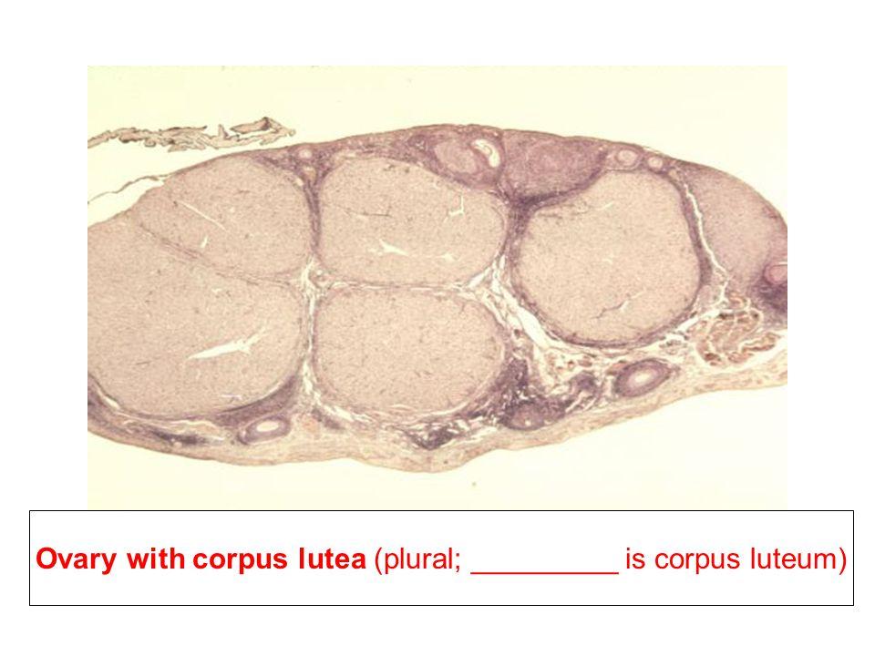 Ovary with corpus lutea (plural; singular is corpus luteum)
