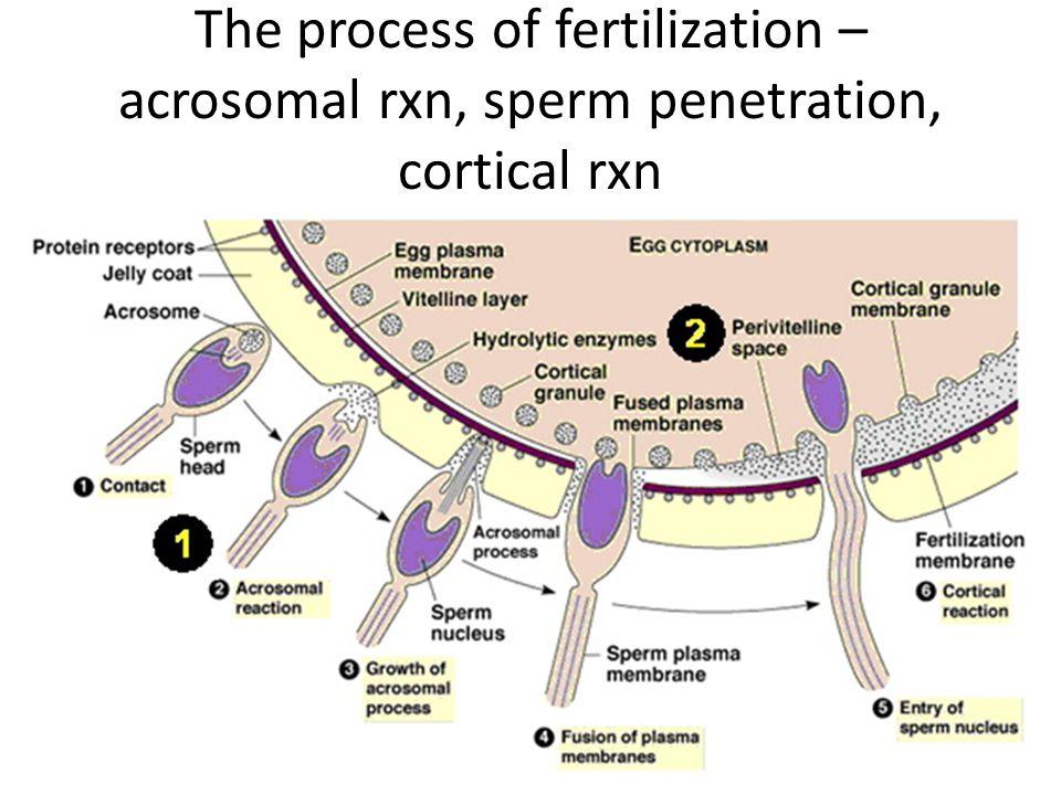 The process of fertilization – acrosomal rxn, sperm penetration, cortical rxn