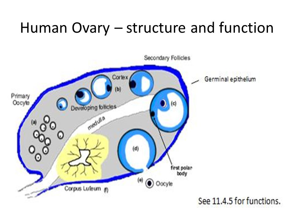 Human Ovary – structure and function