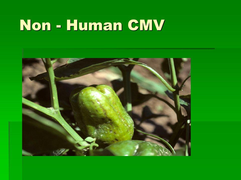 Non - Human CMV Non - Human CMV