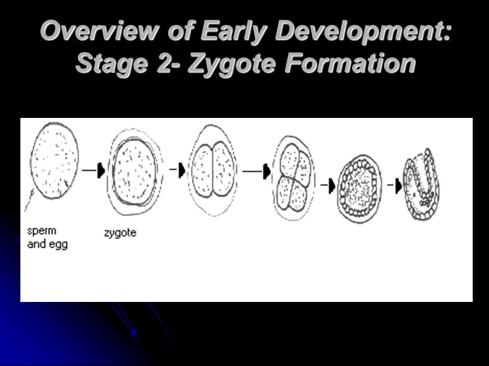 Overview of Early Development: Stage 2- Zygote Formation