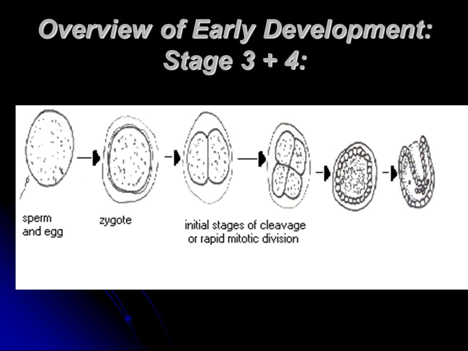 Overview of Early Development: Stage 3 + 4: