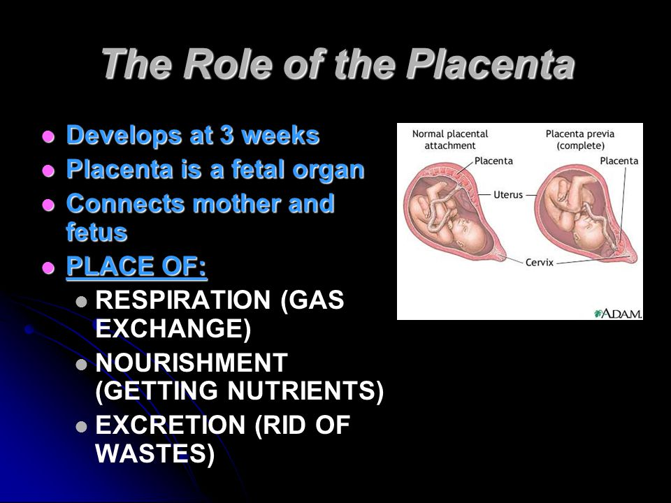 The Role of the Placenta Develops at 3 weeks Develops at 3 weeks Placenta is a fetal organ Placenta is a fetal organ Connects mother and fetus Connects mother and fetus PLACE OF: PLACE OF: RESPIRATION (GAS EXCHANGE) NOURISHMENT (GETTING NUTRIENTS) EXCRETION (RID OF WASTES)