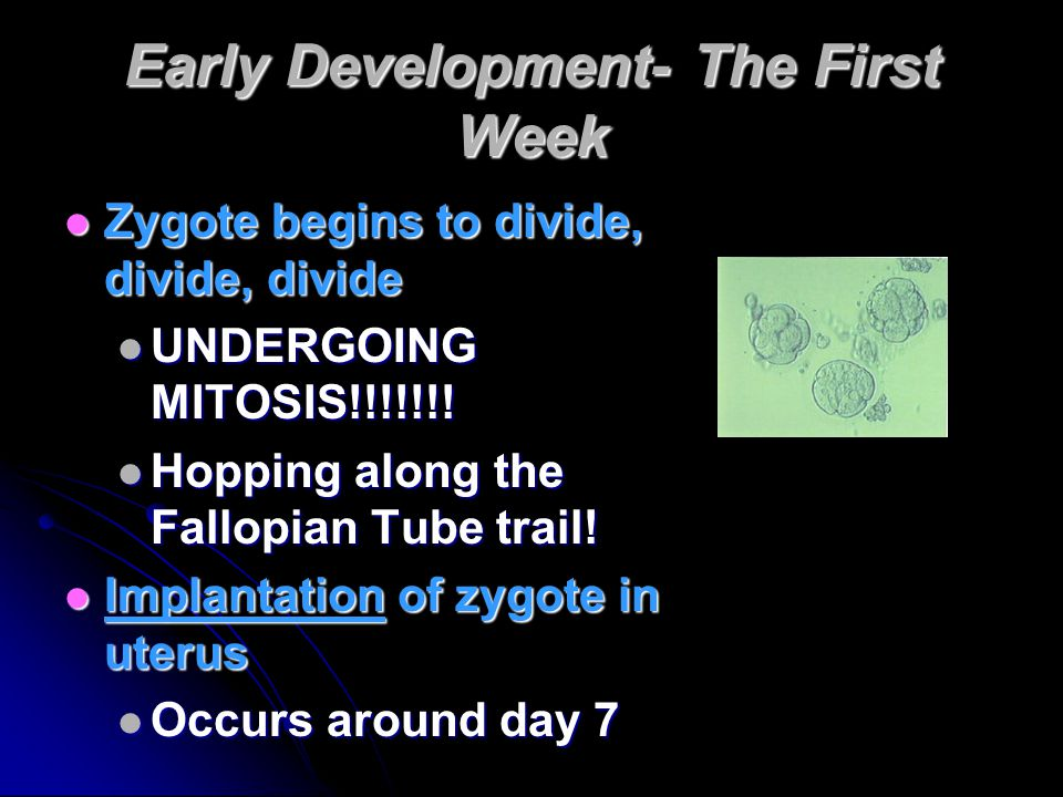 Early Development- The First Week Zygote begins to divide, divide, divide UNDERGOING MITOSIS!!!!!!.