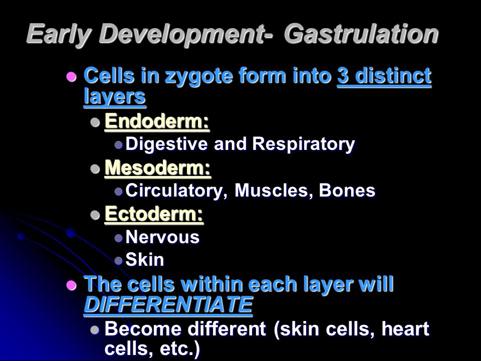 Early Development- Gastrulation Cells in zygote form into 3 distinct layers Cells in zygote form into 3 distinct layers Endoderm: Endoderm: Digestive and Respiratory Digestive and Respiratory Mesoderm: Mesoderm: Circulatory, Muscles, Bones Circulatory, Muscles, Bones Ectoderm: Ectoderm: Nervous Nervous Skin Skin The cells within each layer will DIFFERENTIATE The cells within each layer will DIFFERENTIATE Become different (skin cells, heart cells, etc.) Become different (skin cells, heart cells, etc.)