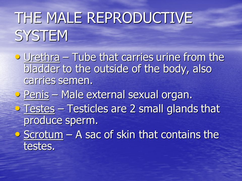 THE MALE REPRODUCTIVE SYSTEM Includes the different organs involved in the production, storage, and release of sperm. Includes the different organs in