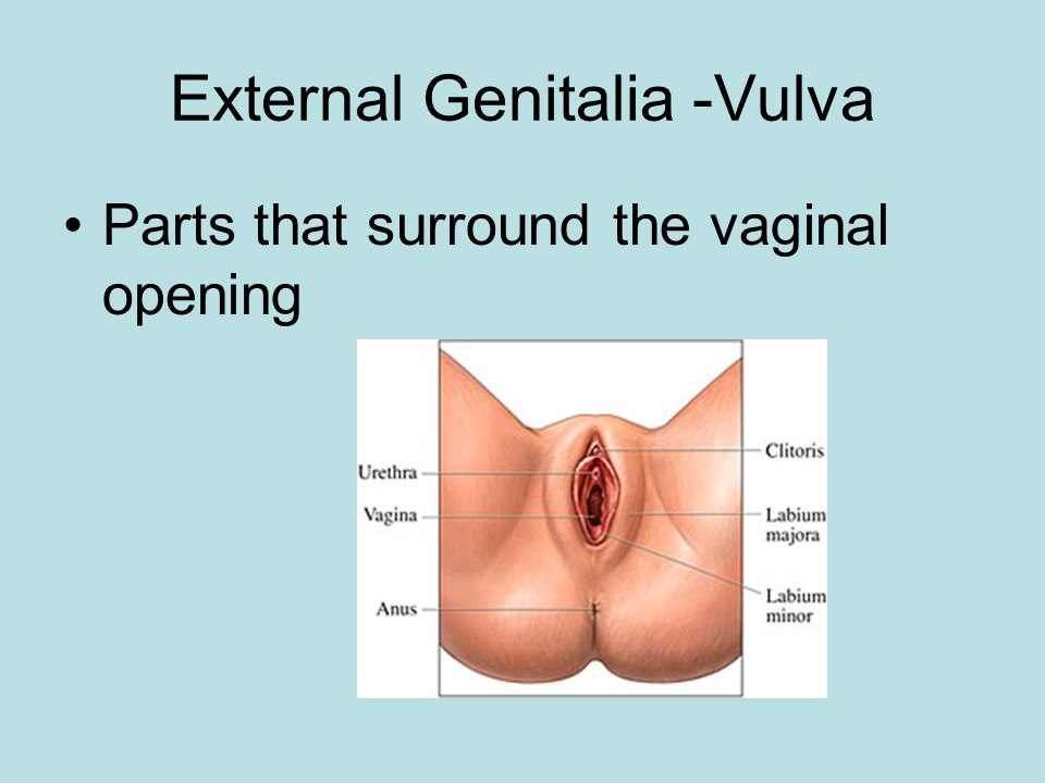 External Genitalia -Vulva Parts that surround the vaginal opening
